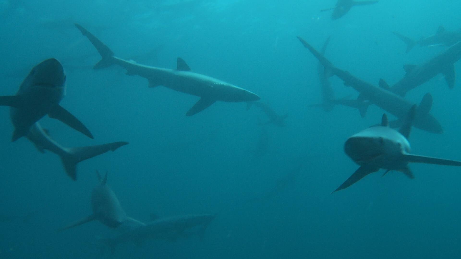 122 blue sharks everywhere