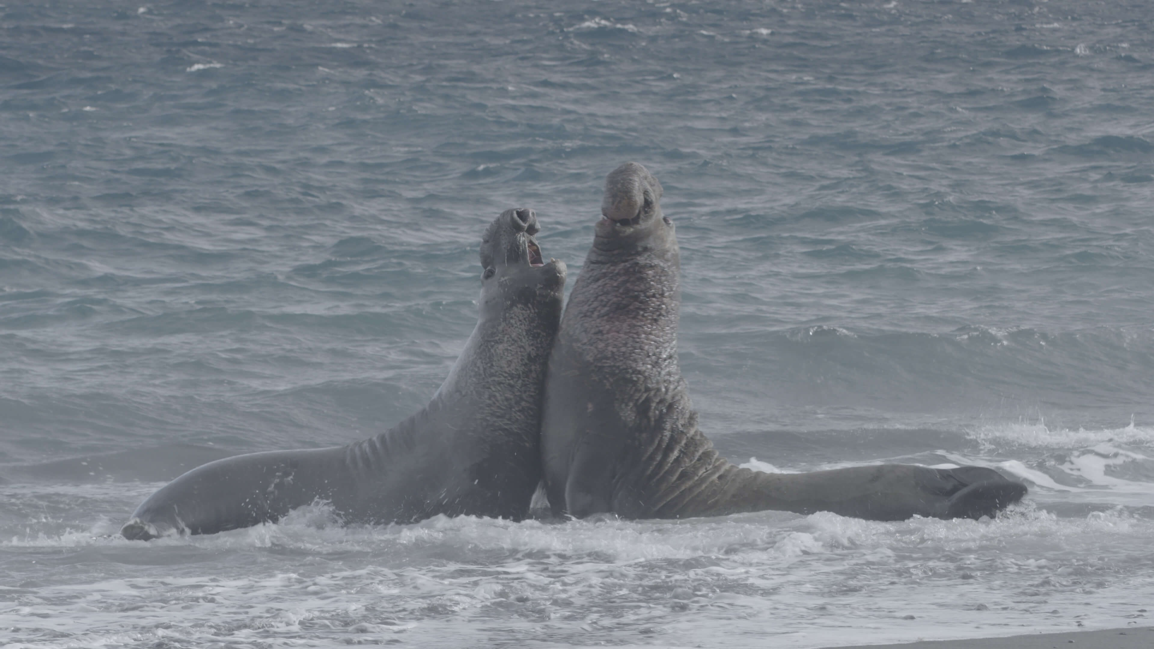 55 elephant seals fighting 2 (1)