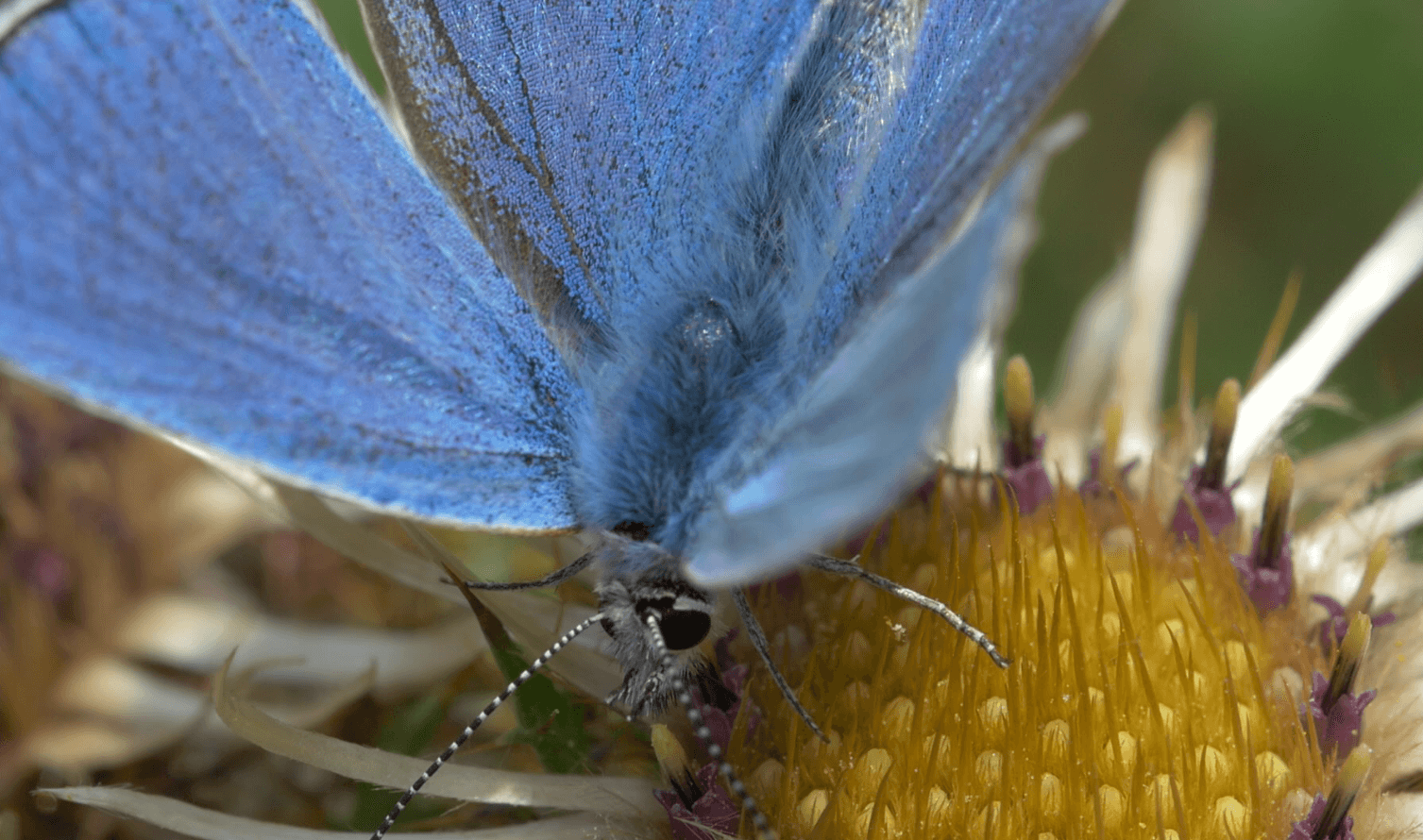 22. Adonis Blue. Screen Shot 2016-10-02 at 16.33.31